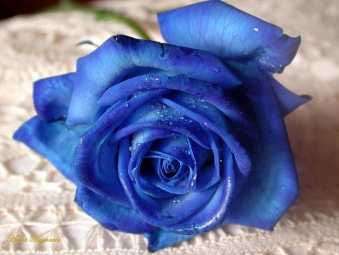 Truyền thuyết hoa hồng xanh